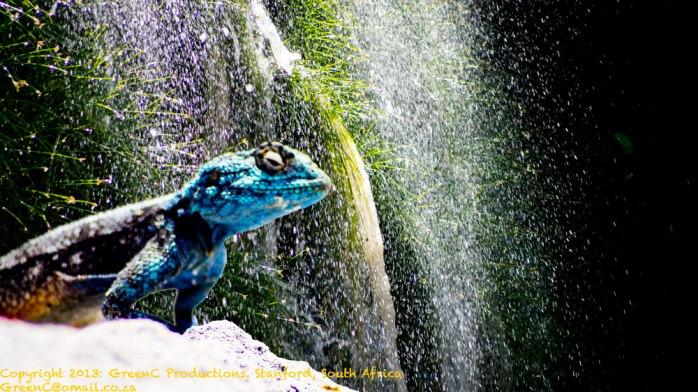 The-Chilling-LizardWEB