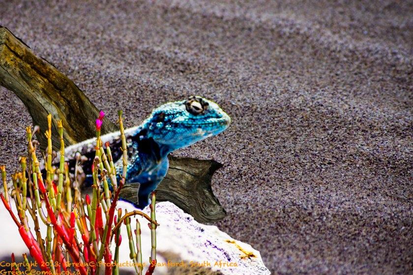 beach-chameleonWEB