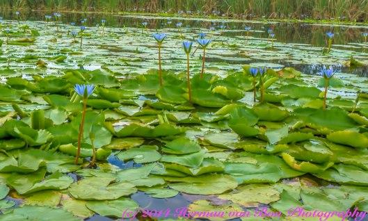 Blue-Lillies-in-Die-Vlei