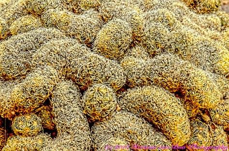 cactusbrains