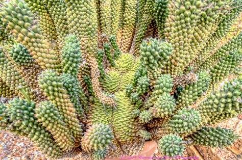 EuphorbiaCaputMeduseae