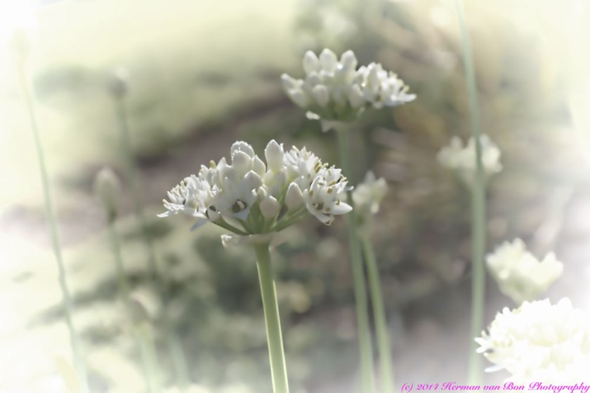Flower12feb2