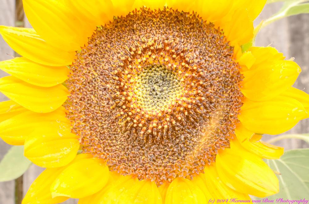 subflower