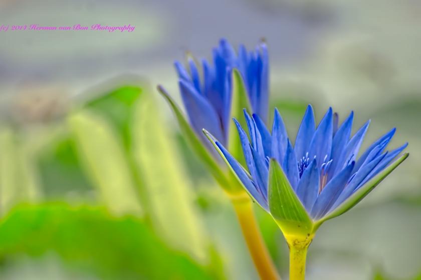 Blue-Lily-of-Die-Vlei