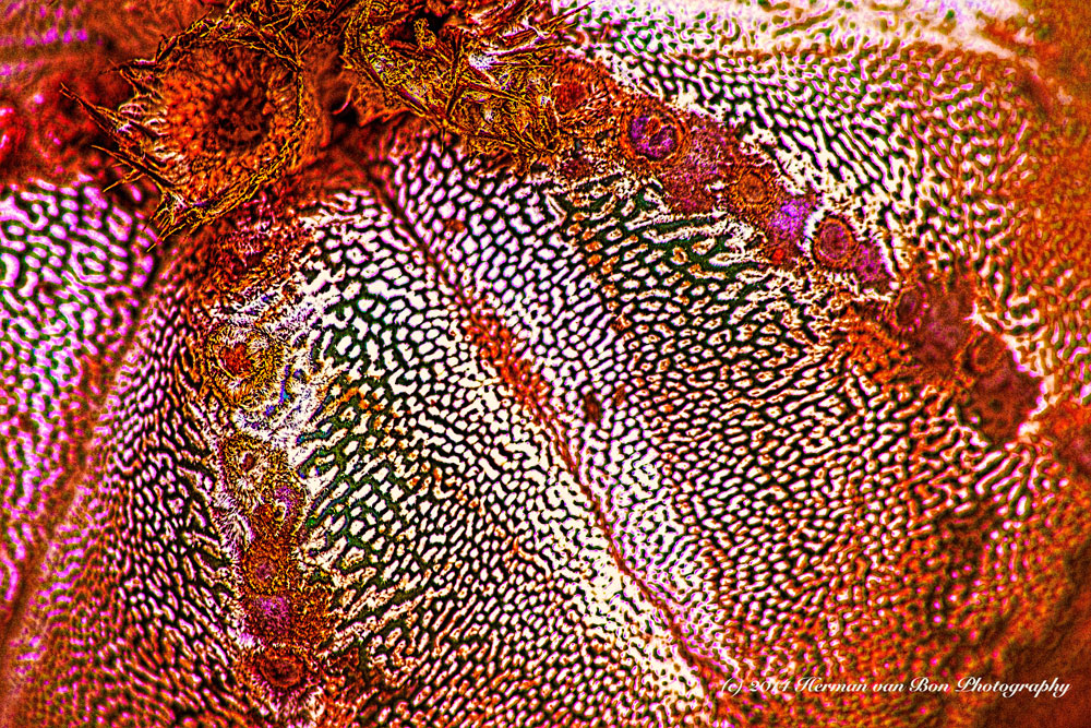 vibrantAstrophytum