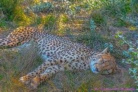 cheetahEC1
