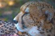 CheetahEC6