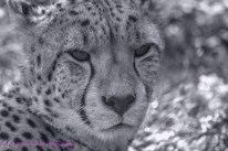CheetahEC7