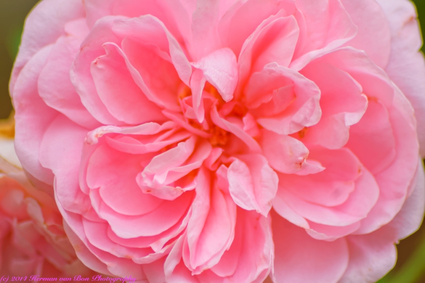 rose1may14