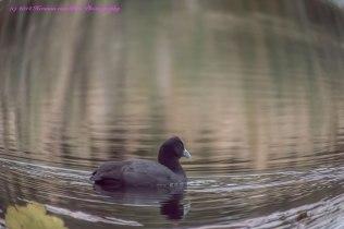 Duck16june14-2