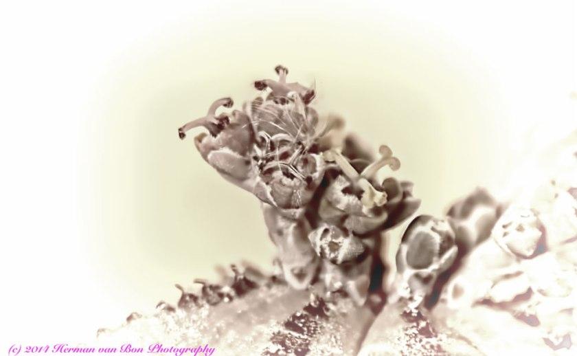 EuphorbiaObesaOpalotype