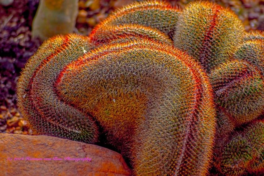 MammillariaCristatus
