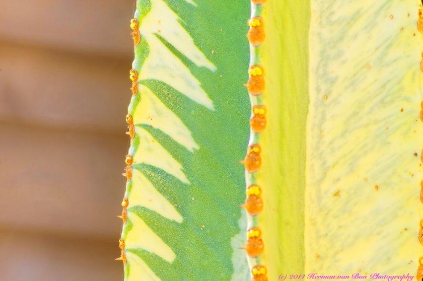 EuphorbiaAmmat