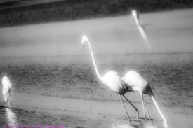 flamingoIntheMist