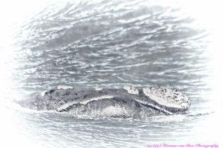 whale3aug14-3