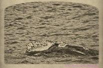 whale3aug14-4_DxO
