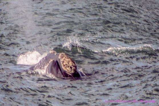 Whale3aug14-5
