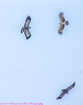 falcon6
