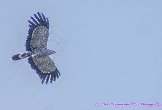 falcon8