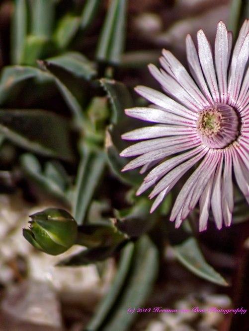 mesembflower12sept14