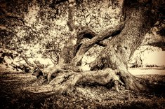 Ancient Milkwood tree challenged me to add some vintage look