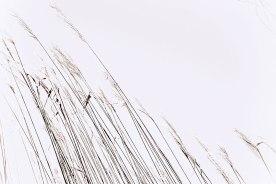 Reeds along the willem Appel Dam.