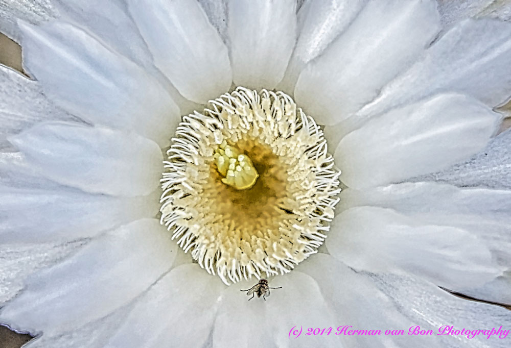 echinopsis2
