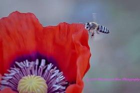 poppybee2a