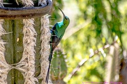 sugarbird1