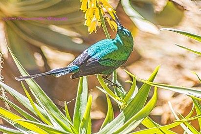 sugarbird2