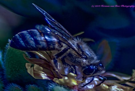 The-Bee-that-came-out-in-the-blue