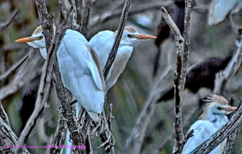 egrets26dec14