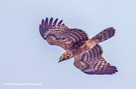 10feb15harrierhawk1