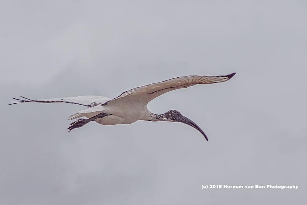 sacred ibis at Stanford Harvest