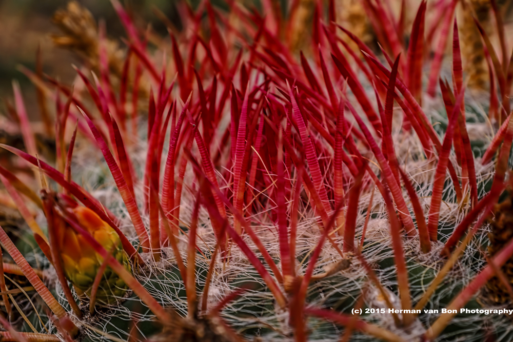 prickly-evening-red