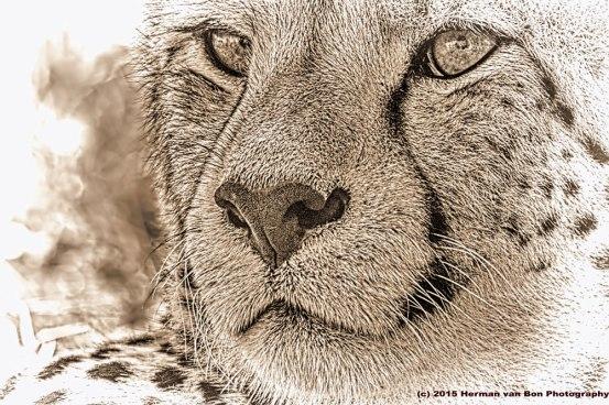 CheetahEC9_edit