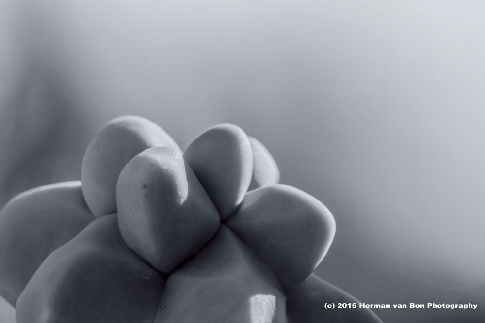 lophocereus scotti monstrose