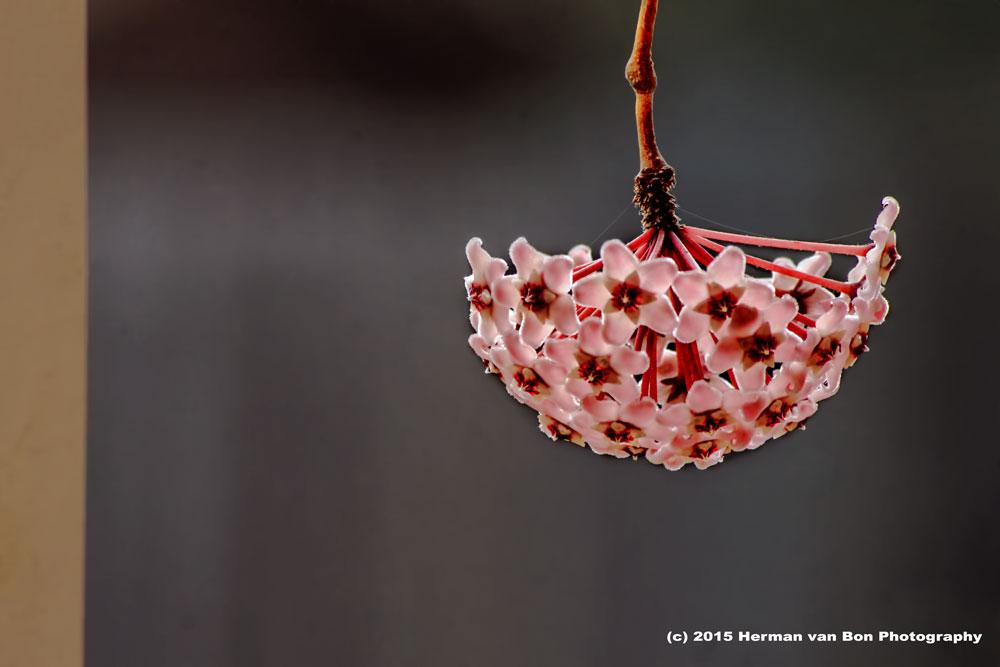 hoya, Herman van Bon Photography