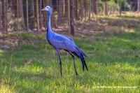 blue-crane-1