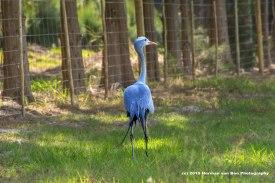 blue-crane-2
