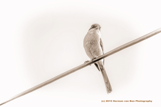 classic-pose-of-bird-on-a-wire