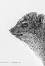portrait-of-a-Dassie