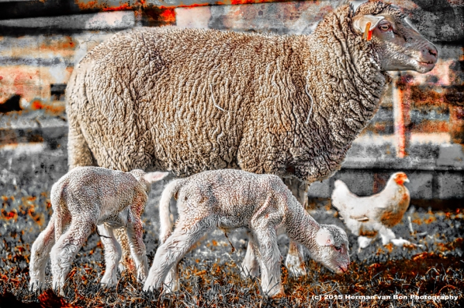 portrait-of-a-sheep-19-may15