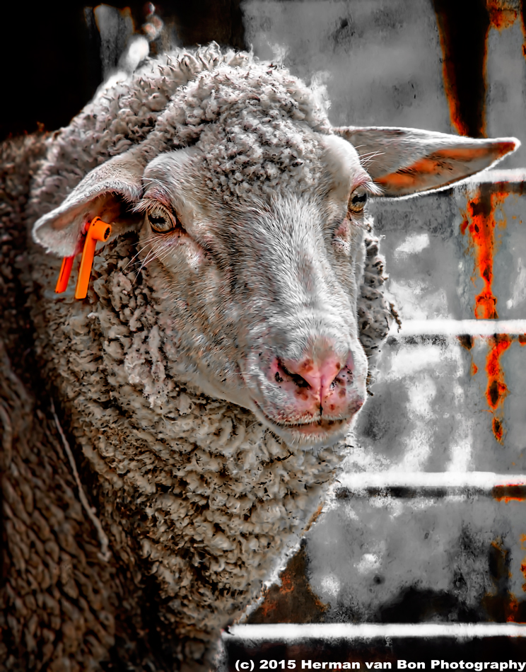 portrait-of-a-sheep-19may15