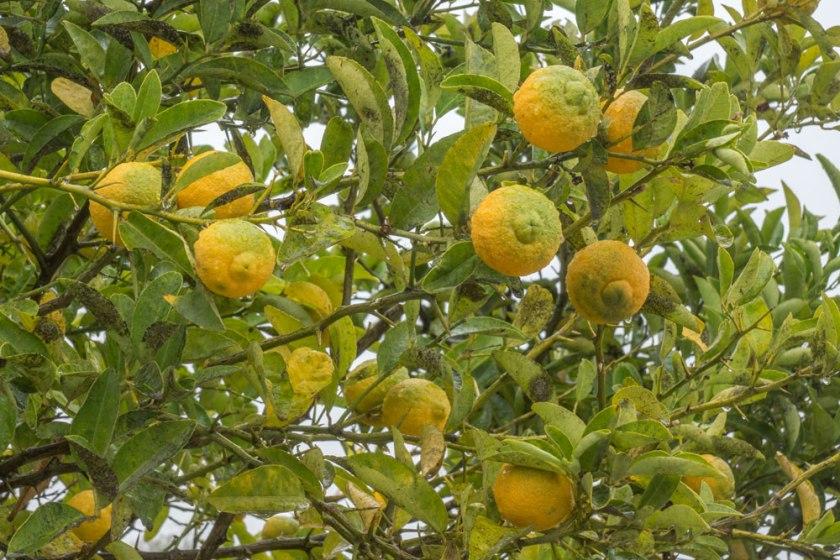 Y-lemon-2