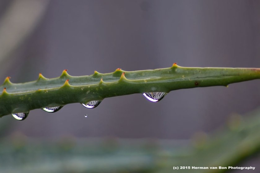 after-the-rain-aloe-2