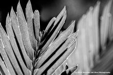 Herman van Bon Photography cycad leaf