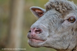 portrait-of-a-sheep-25-may-2015
