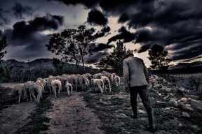 SH-herding-sheep