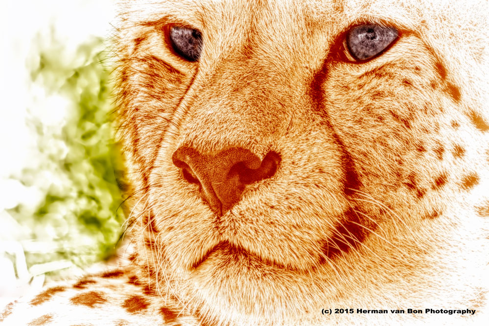 CheetahInTheWild2